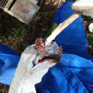 Grande refúgio de morcegos hematófagos é localizado em Restinga Seca