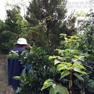 Secretaria da Agricultura realiza monitoramento fitossanitário em diversos pomares no RS