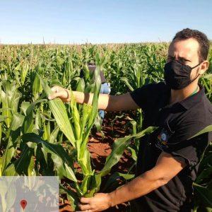 Secretaria da Agricultura participa do programa nacional de Monitoramento da Cigarrinha-do-milho e Enfezamentos da Cultura